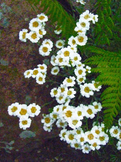 Achillea ageratifolia GREEK YARROW