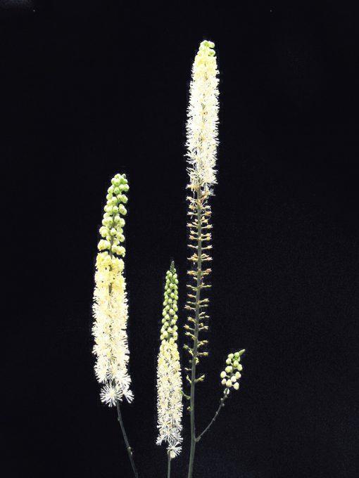 Actaea cordifolia CREAM SNAKE ROOT