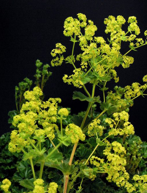 Alchemilla andina CARPET LADY'S MANTLE