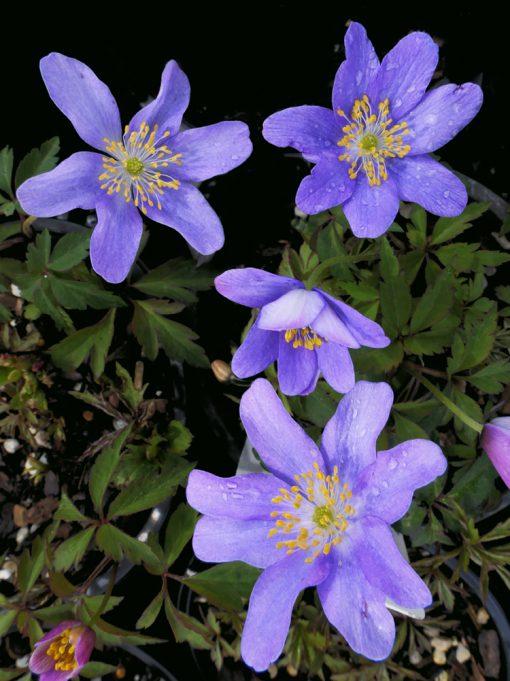 Anemone nemorosa 'Blue Queen'