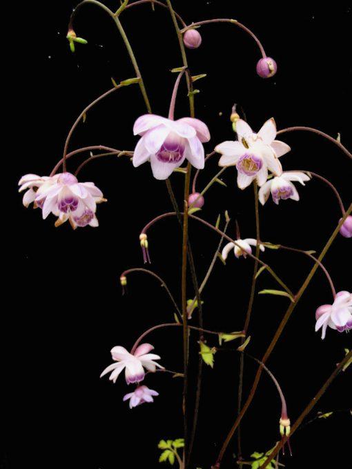 Anemone macrophylla CRYSTAL ANEMONE