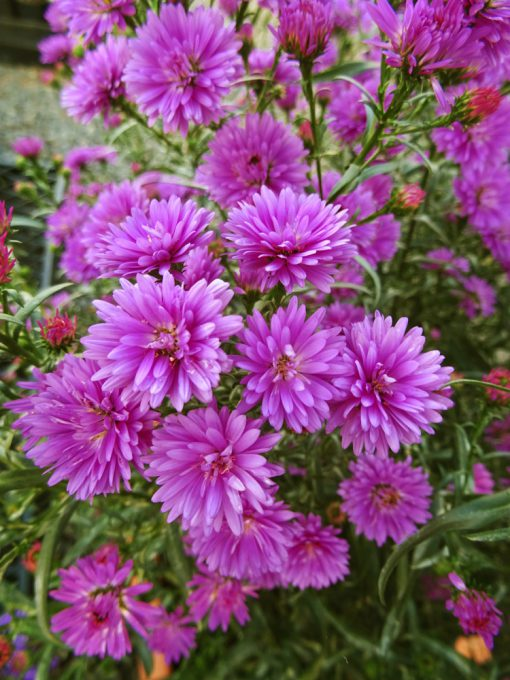 Aster 'Ruby Buttons'
