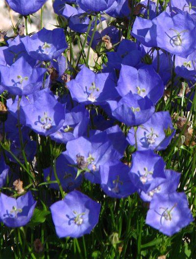 Campanula carpatica 'Celestial Blue'