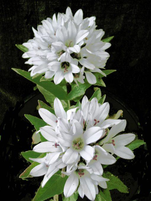 Campanula glomerata 'Crown of Snow'