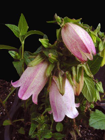 Campanula nobilis rosea PINK NOBLE BELLFLOWER