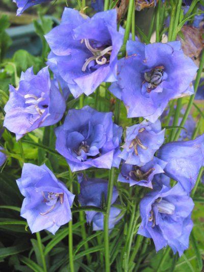 Campanula persicifolia 'Blue Bloomers'