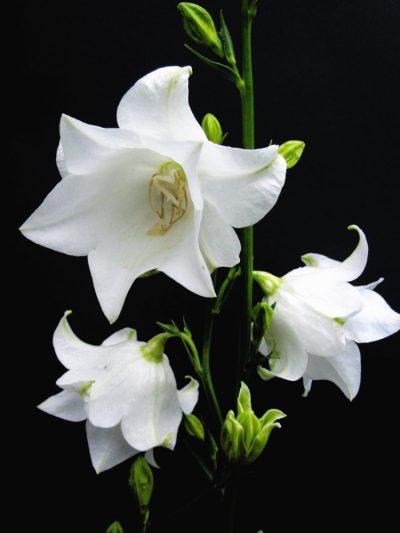 Campanula persicifolia flore plena 'Gawen'
