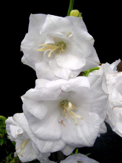 Campanula persicifolia 'La Belle'