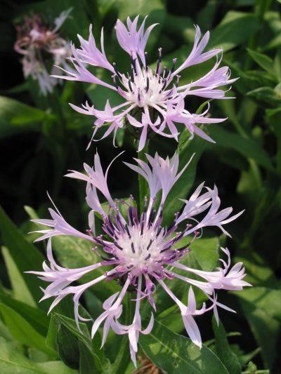 Centaurea montana 'Carnea'