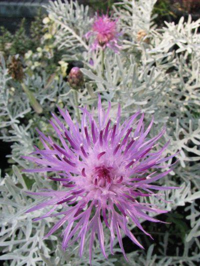 Centaurea 'Silver Fountain' cornflower