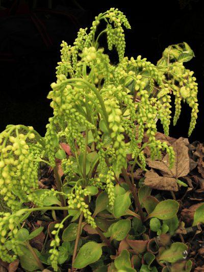 Chiastophyllum oppositifolium LAMB'S TAIL