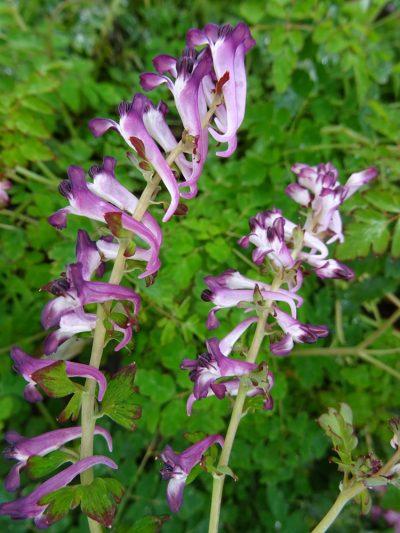 Corydalis leucanthema 'Silver Spectre'