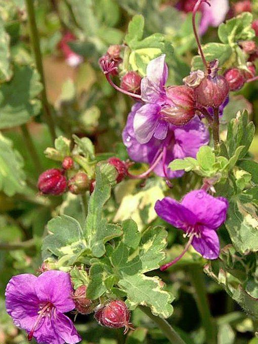 Geranium macrorrhizum 'Variegatum'