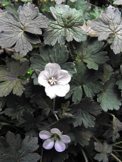 Geranium sessiliflorum var. 'Nigricans'