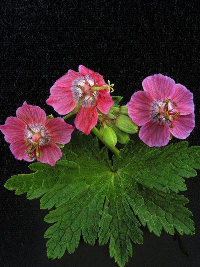 Geranium x monacense ROSE