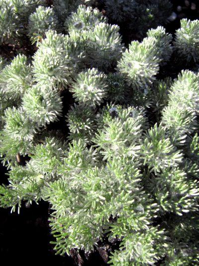 Leptinella pyrethefolia NEW ZEALAND LACE