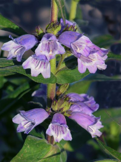 Penstemon 'Sour Grapes' BEARDTONGUE