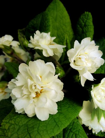 Primula vulgaris flore plena DOUBLE CREAM