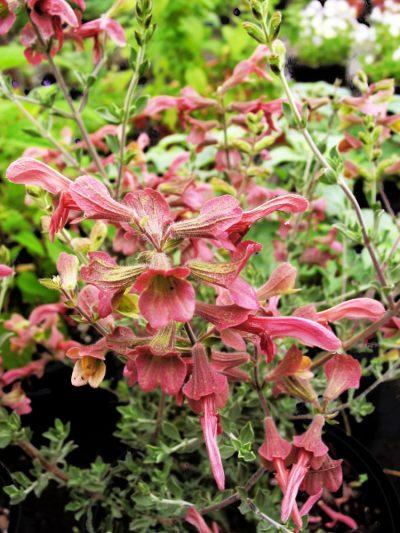 Salvia lanceolata SAND SAGE