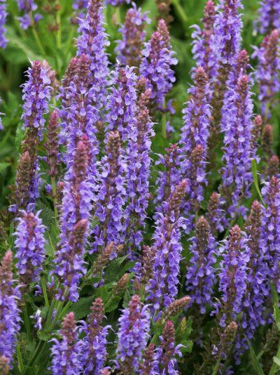 Salvia x sylvestris 'Blue Hills' WOOD SAGE