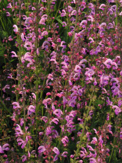 Salvia x superba 'Merleau Rose'