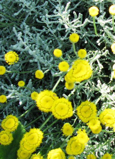 Santolina chamaecyparissus 'Magonica'