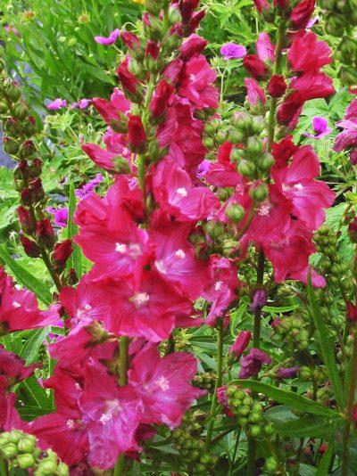 Sidalcea 'Wine Red'
