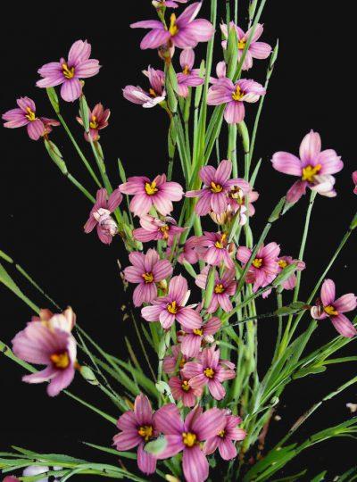 Sisyrinchium x bermudiana 'Violet Star'