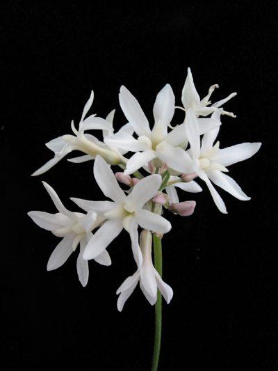 Tulbaghia violacea 'Alba' WHITE SOCIETY BUGLES