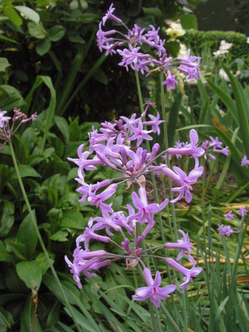 Tulbaghia violacea SOCIETY GARLIC