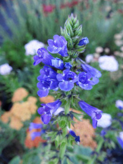 Wulfenia amherstiana BLUE WOLF FLOWER