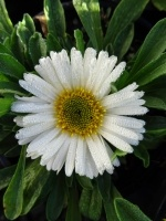Aster alpinus 'White Beauty'