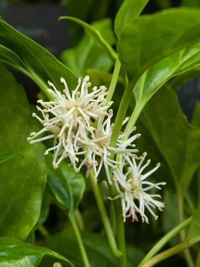 Pachysandra axillaris CHINESE SPURGE