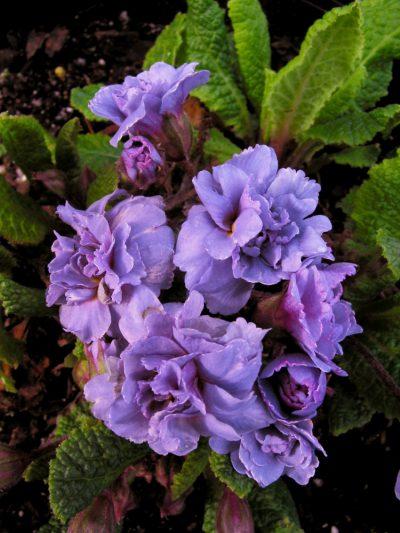 Primula vulgaris flore pleno DOUBLE LILAC