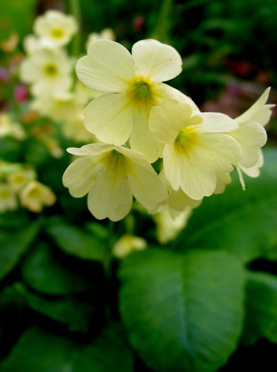Primula vulgaris SINGLE LEMON