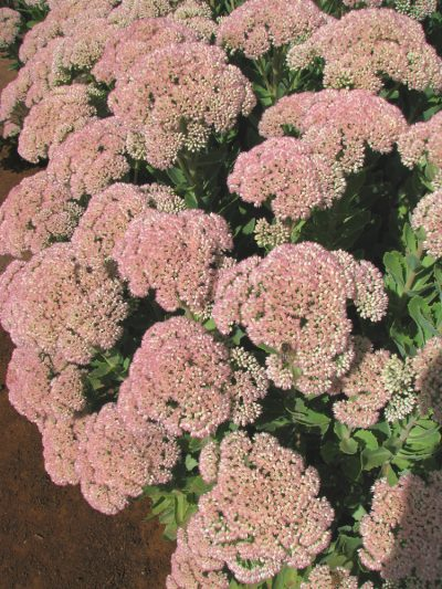 Sedum spectabile 'Autumn Blush'