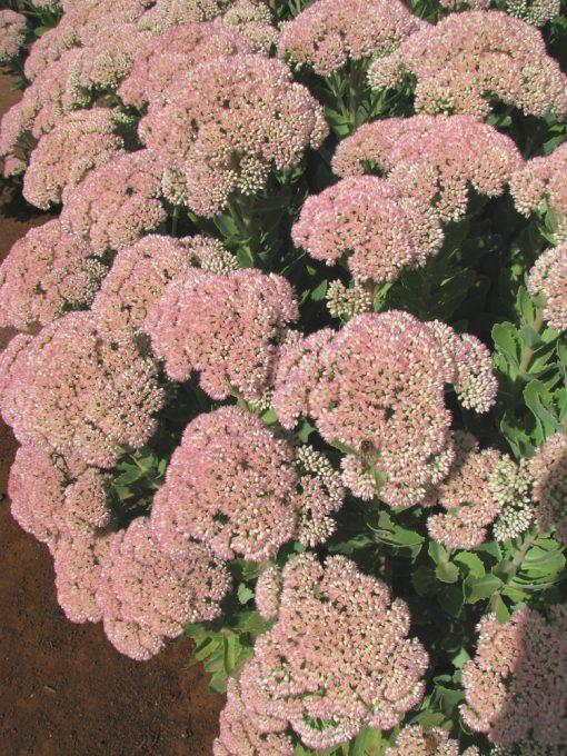 Sedum spectabile 'Autumn Blush'