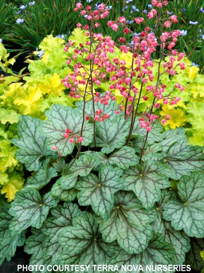 Heuchera 'Peppermint Spice'