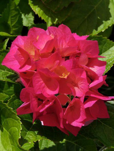 Hydrangea macrophylla 'Kirsten'