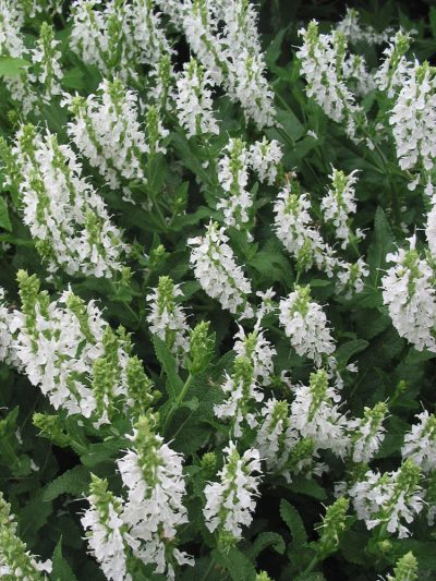 Salvia x sylvestris 'Snow Hills'