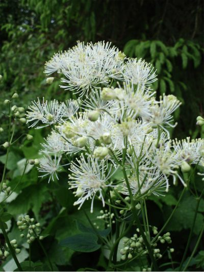 Thalictrum aquilegifolium 'Nimbus White'