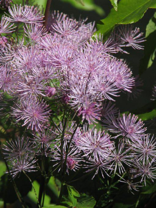 Thalictrum kiusianum Dwarf Lavender