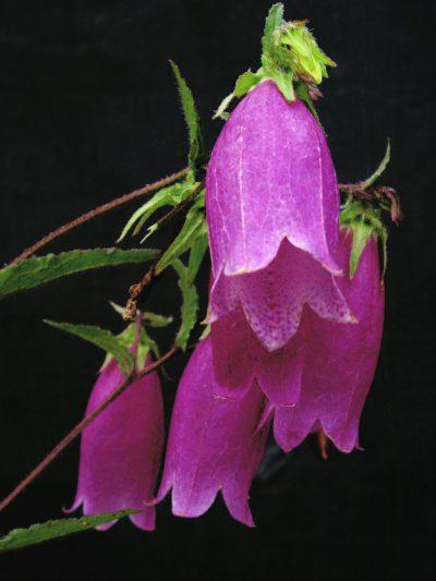 Campanula punctata f. rubriflora 'Beetroot'