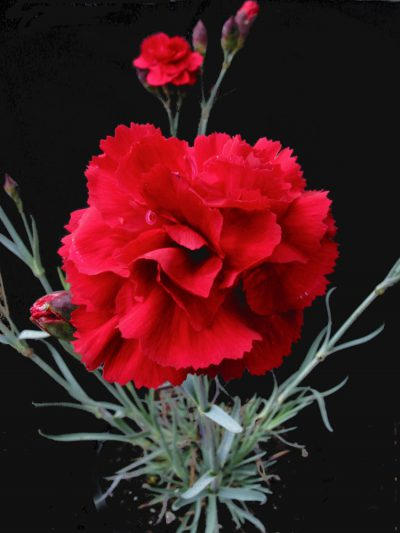 Dianthus 'Rose Joy'