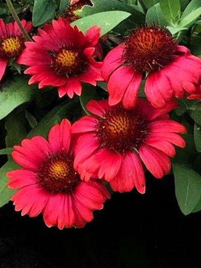 Gaillardia x grandiflora 'Mesa Red'