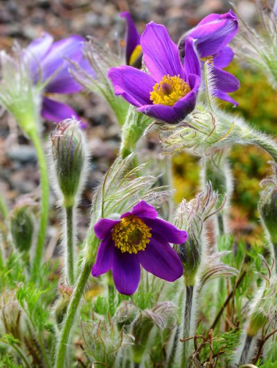 Pulsatilla zimmermanii PASQUE FLOWER