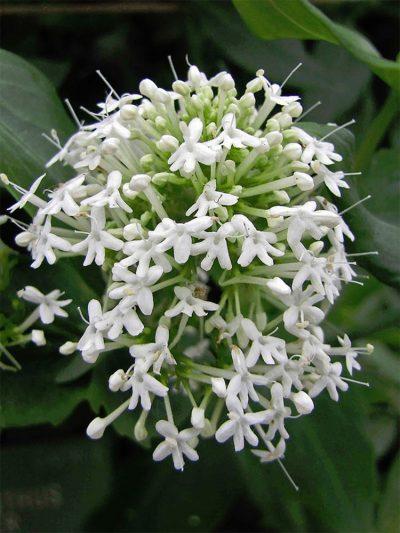 Centranthus ruber 'Albus' WHITE VALERIAN