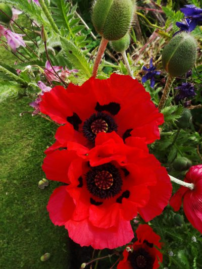 Papaver orientale 'Beauty of Livermere'
