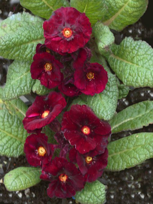 Primula 'Cowichan Garnet' PRIMROSE