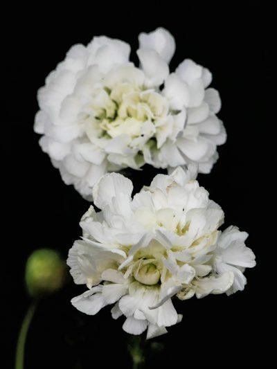 Silene uniflora 'Robin Whitebreast'